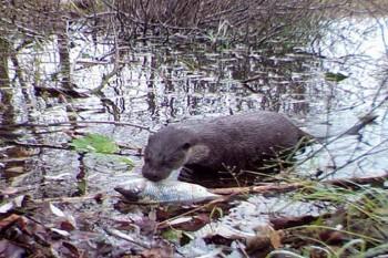 Rinascita a Chernobyl: la fauna selvatica prospera nella zona di esclusione