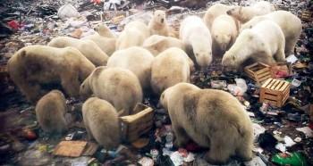 Perché gli orsi polari stanno invadendo le città