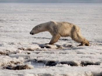 Orso polare denutrito arriva in un villaggio lontano chilometri dal suo habitat
