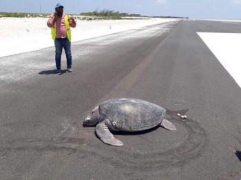 Tartaruga marina torna sulla spiaggia per deporre le uova, ma si ritrova su una pista di atterraggio