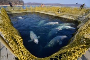 """Russia: orche e beluga saranno liberati dal """"carcere dei cetacei"""""""