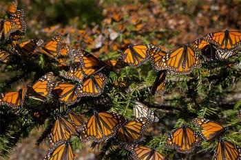 In UK la spettacolare migrazione delle farfalle che avviene una volta ogni 10 anni