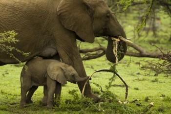 Gli elefanti africani combattono il clima mangiando