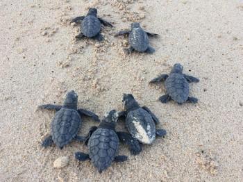 Nel 2100 potrebbero non nascere più maschi di tartarughe marine
