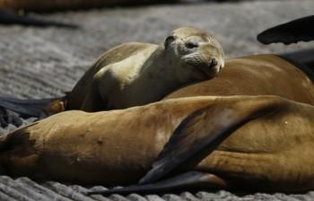 Ondata di calore nel Pacifico, paura per le alghe tossiche