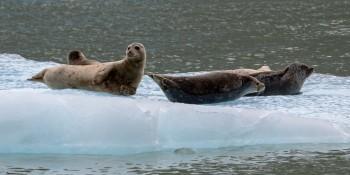 Un virus sta decimando i mammiferi dell'Artico e il problema è lo scioglimento dei ghiacciai