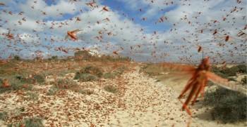 Allarme Onu: milioni di locuste hanno invaso l'Africa orientale