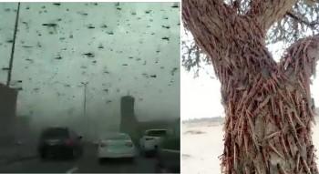 """La """"piaga"""" delle locuste potrebbe raggiungere la Cina?"""