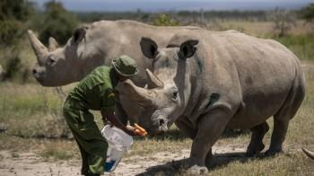 L'ultima salvezza per il rinoceronte bianco settentrionale sono 5 embrioni creati in laboratorio