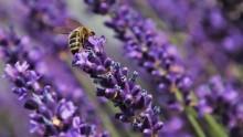 Api a rischio estinzione: quali fiori piantare per aiutarle?
