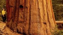 Gli incendi in California minacciano le antiche sequoie giganti